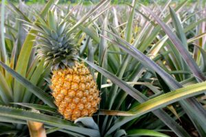 Best Pineapple Farms in Hawaii to Visit