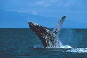 The Top 14 Most Interesting Facts About Humpback Whales