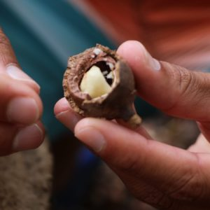 Crack macadamia nuts by hand at the Oahu Macadamia Nut Farm